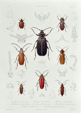 A Collection of Coleoptera found in Chile, illustration from 'Historia de Chile', engraved by Lebrun, 1854