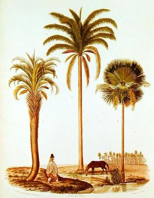 Species of Argentinian Palm Tree, illustration from 'Voyage dans l'Amerique Meridionale' by Alcide d'Orbigny, engraved by Breton, 1847