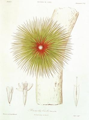 A Bromelia found in the Andes, from 'Historia de Chile' by Claudio Gay, 1854