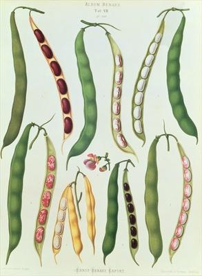 Beans, Tab VII from the 'Album Benary', engraved by G. Severeyns, 1876