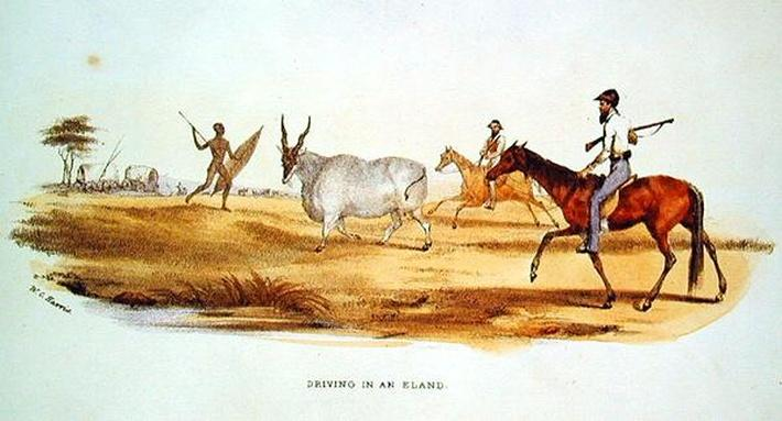 Driving in an Eland, illustration from 'Wild Sports of South Africa', by W.C. Harris, 1841