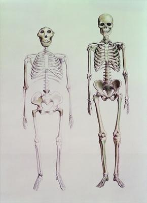 Skeletons of Australopithecus Boisei and Homo Sapiens