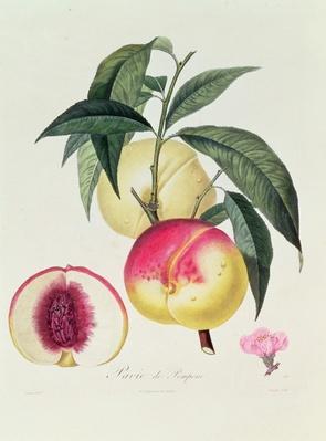 Pavie de Pompone, engraved by Bouquet