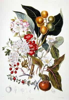 Pomaceae, the Apple Tribe