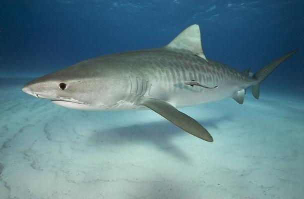 Tiger shark on white sand beach | Animals, Habitats, and Ecosystems