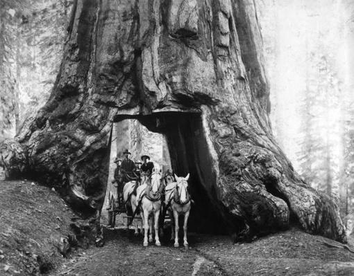 The Wawona Tunnel Tree, Yosemite National Park, ca. 1904| Ken Burns: The National Parks