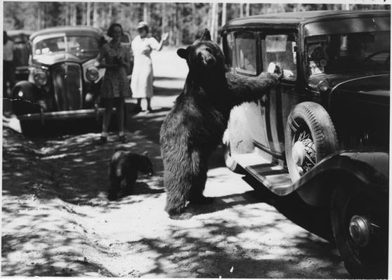 Black Bear Begs for Food at a Yellowstone Roadside, 1937 | Ken Burns: The National Parks
