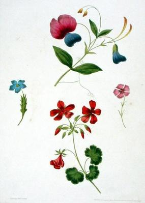 An illustration from 'A New Treatise on Flower Painting, or, Every Lady Her Own Drawing Master', 1816