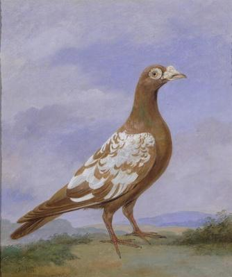Red Pied Carrier Pigeon