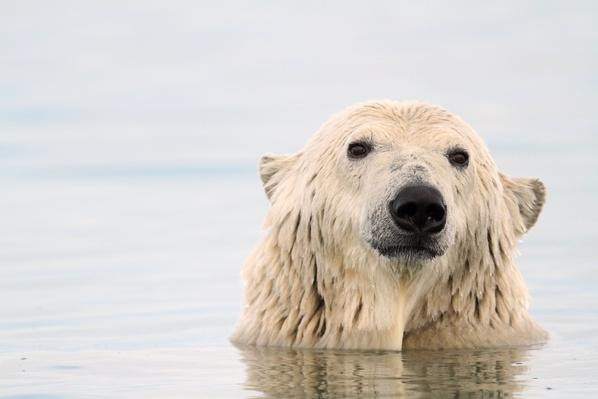 Polar Bear | Endangered Species