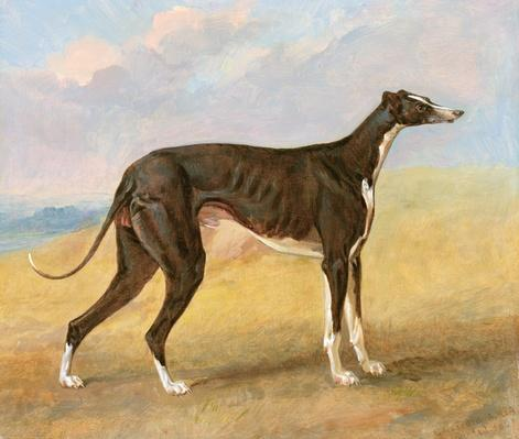 One of George Lane Fox's Winning Greyhounds: the Black and White Greyhound, Turk, also known as Eagle, 1822