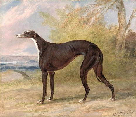 One of George Lane Fox's Winning Greyhounds: the Black and White Greyhound Bitch, Juno, also known as Elizabeth, 1822