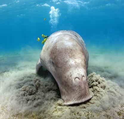 Dugong | Endangered Species