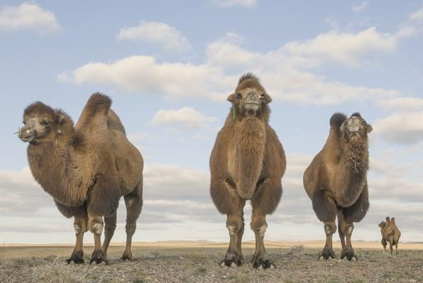Bactrian camels (Camelus bactrianus), Gobi desert | Animals, Habitats, and Ecosystems