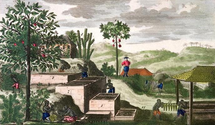 Indigo Plant, illustration from 'Histoire Generale des Antilles Habitees par les Francois Vol 2' by Jean Baptiste Du Tertre