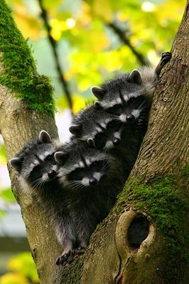 Baby Raccoons | Animals, Habitats, and Ecosystems