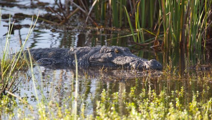 A mugger crocodile, Crocodylus palustris, waits in the reeds