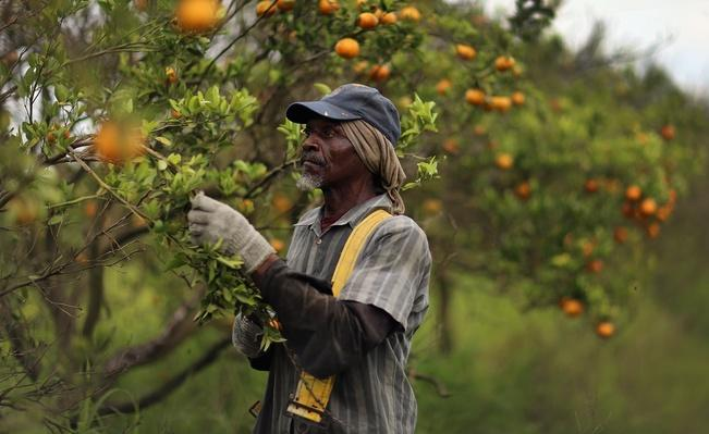 Citrus Greening Diseases Threatens Florida's Orange Industry | Agriculture and Forestry