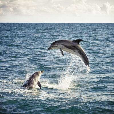 Dolphin Leap | Animals, Habitats, and Ecosystems