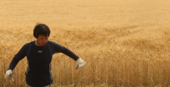Wheat Harvesting Season Begins In Japan | Agriculture and Forestry