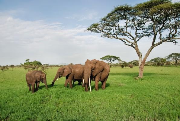 Family of elephants on a sunny day in Serengeti | Animals, Habitats, and Ecosystems