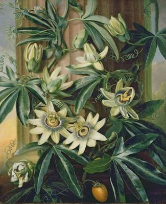 Blue Passion Flower for the 'Temple of Flora' by Robert Thornton, 1800