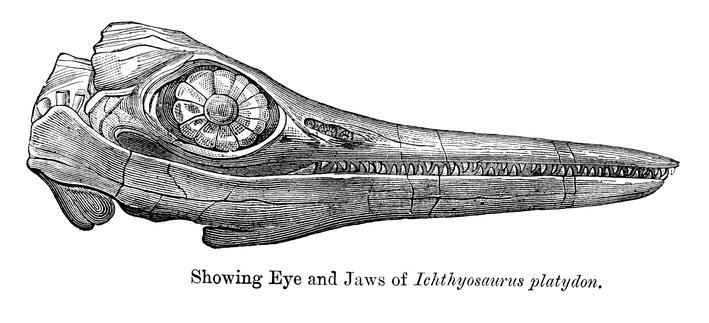 Ichthyosaurus platyodon - Temnodontosaurus | Plants and Animals