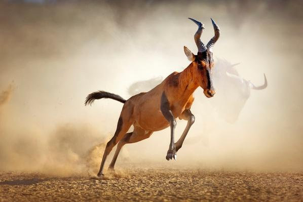 Red hartebeest running in dust | Animals, Habitats, and Ecosystems