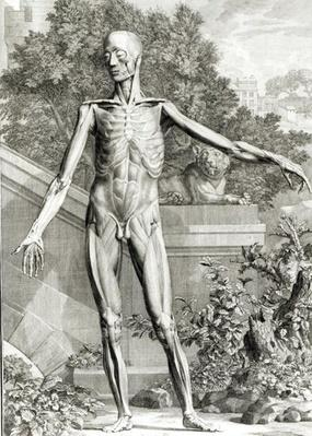 Flayed body, from 'Tables of the Skeleton and Muscles of the Human Body' by Bernard Siegfried Albinus