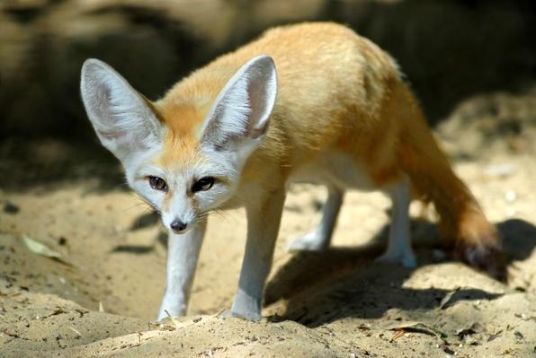 Fennec fox | Animals, Habitats, and Ecosystems