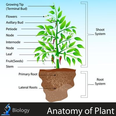 Anatomy of Plant | Plants and Animals