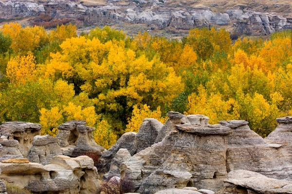 Sandstone Hoodoos With Autumn Cottonwoods, Canada | Earth's Surface