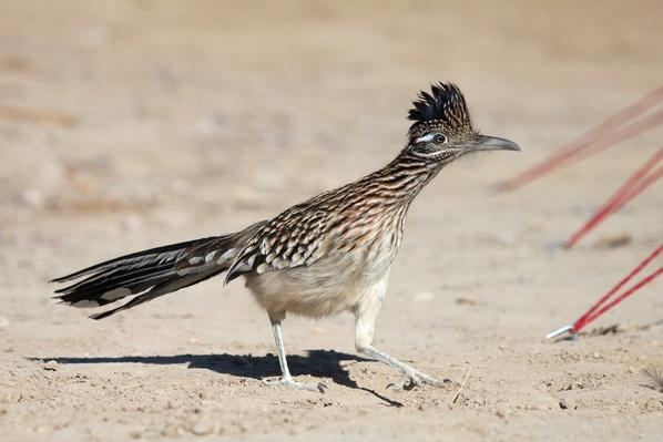 Greater Roadrunner | Animals, Habitats, and Ecosystems