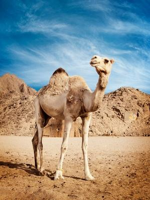 Camel | Animals, Habitats, and Ecosystems