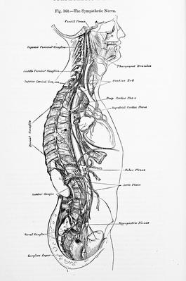 Antique Medical Illustration | Back Nerves | Science and Technology