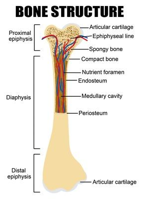 Diagram of human bone anatomy | Science and Technology