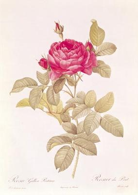 Rosa Gallica Pontiana, from 'Les Roses' by Claude Antoine Thory