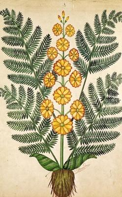 Fern with yellow flowers, plate from a seed merchants in Oisans