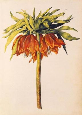 Crown Imperial Lily or Fritillary, from 'La Guirlande de Julie', c.1642