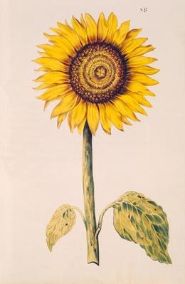 Sunflower or Helianthus, from 'La Guirlande de Julie', c.1642