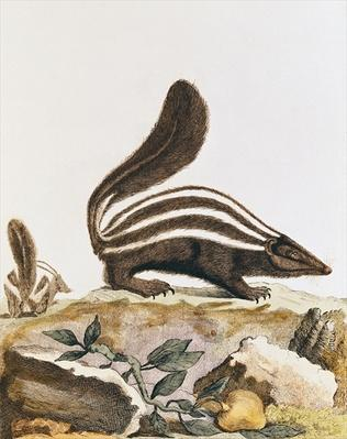 Skunk, from 'Histoire Naturelle' by Georges Louis Leclerc Buffon