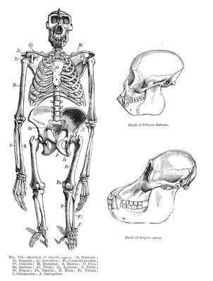 gorilla/primate skeleton | Plants and Animals