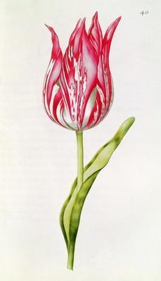 Tulip, from 'La Guirlande de Julie', c.1642
