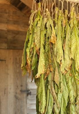 Image of Tobacco Leaves Drying Upside Down in a Wooden Shed | Earth's Resources