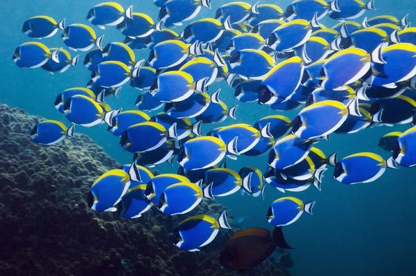 Powderblue surgeonfish | Animals, Habitats, and Ecosystems