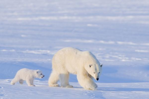 Polar bear (Ursus maritimus) sow with spring cub | Endangered Species