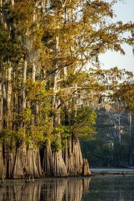 Bald Cypress (Taxodium Distichum) Pierce Lake, Atchafalaya Basin | Earth's Surface