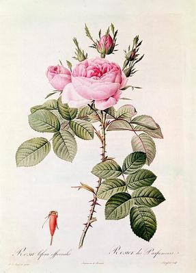 Rosa Bifera Officinalis, from 'Les Roses' by Claude Antoine Thory