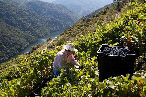 The Grape Harvest is Gathered | Agriculture and Forestry