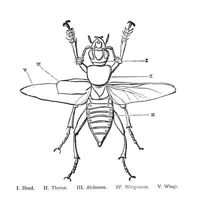 Anatomy of an Insect Illustration | Plants and Animals